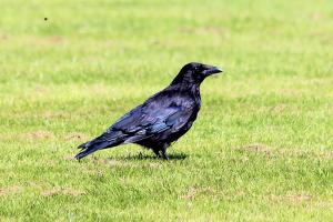Crow_31072015_00
