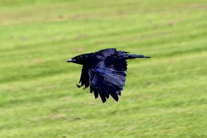 Crow_31072015_02