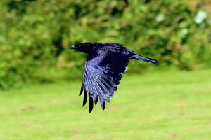 Crow_31072015_03