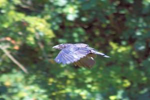 Crow_31072015_06