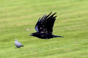 Crow_31072015_01
